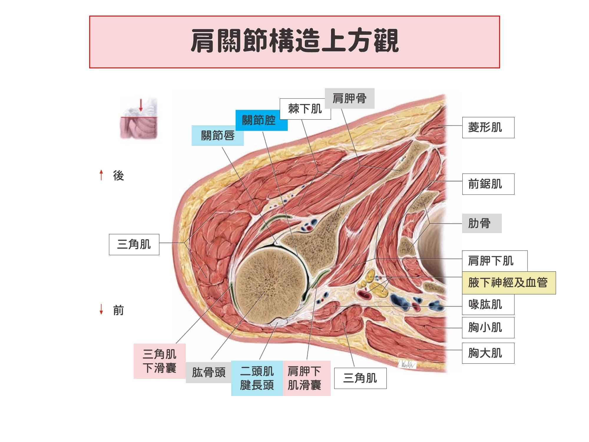 肩關節構造-肩膀酸痛原因3